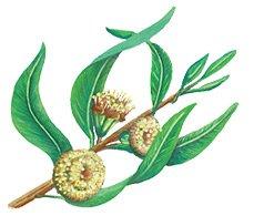 Ulje eukaliptusa